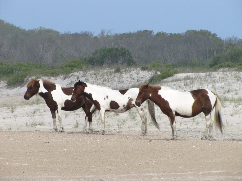 wild-ponies-1522433_1920